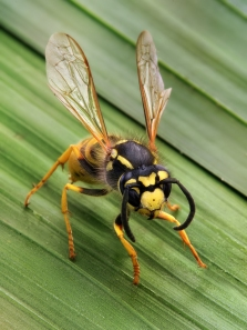 Vespula_germanica_Richard_Bartz